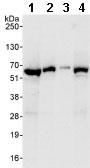 Western blot - TOR1AIP1 antibody (ab86307)