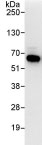 Immunoprecipitation - TOR1AIP1 antibody (ab86307)