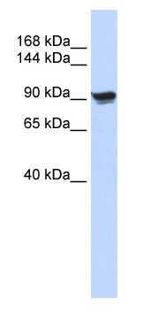 Western blot - alpha Actinin antibody (ab86310)