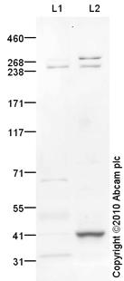 Western blot - Nav1.5 antibody (ab86321)