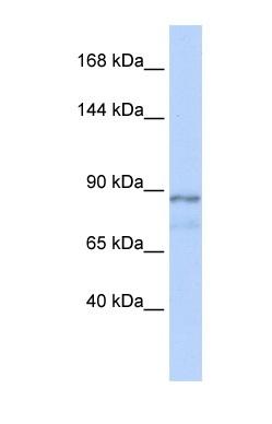 Western blot - ZFAT antibody (ab86328)