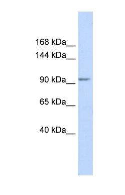 Western blot - KCTD19 antibody (ab86329)