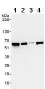 Western blot - AGFG1 antibody (ab86349)