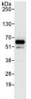 Immunoprecipitation - AGFG1 antibody (ab86349)