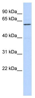 Western blot - ZNF165 antibody (ab86360)