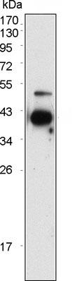 Western blot - Protein Z antibody [2B4] (ab86372)