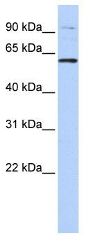 Western blot - TULP2 antibody (ab86405)