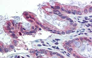 Immunohistochemistry (Formalin/PFA-fixed paraffin-embedded sections)-Anti-TULP2 antibody(ab86405)