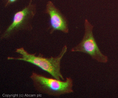 Immunocytochemistry/ Immunofluorescence - Anti-GRO alpha antibody (ab86436)