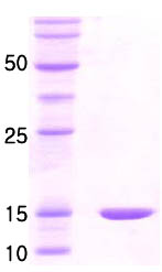 SDS-PAGE - groES protein (ab86440)