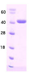 SDS-PAGE - Hsp40 protein (His tag) (ab86441)