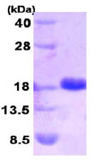 SDS-PAGE - Sumo 2 protein (Human) (ab86444)
