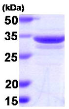 SDS-PAGE - Annexin A1 protein (Human) (ab86446)