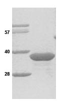 SDS-PAGE - Geminin protein (His tag) (ab86447)