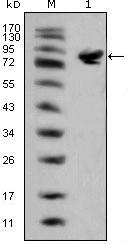 Western blot - Islet 1 antibody [1H9] (ab86472)