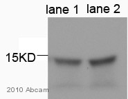 Western blot - GABARAPL1 antibody (ab86497)