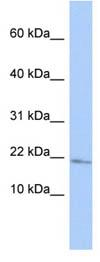 Western blot - MAFG antibody (ab86524)
