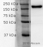 Western blot - KIF13B antibody (ab86528)