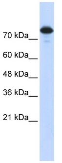 Western blot - Wwp2 antibody (ab86544)