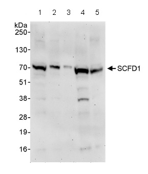 Western blot - SCFD1 antibody (ab86594)