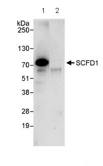 Immunoprecipitation - SCFD1 antibody (ab86594)