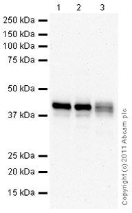 Western blot - HLA Class I A3 antibody (ab86597)