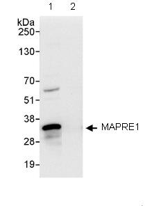 Immunoprecipitation - MAPRE1 antibody (ab86598)