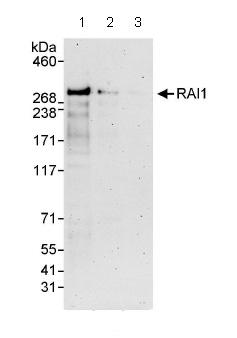Western blot - RAI1 antibody (ab86599)
