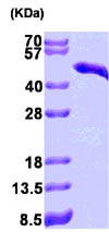 SDS-PAGE - Cardiac Troponin T protein (His tag) (ab86685)