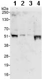 Western blot - POLR3D antibody (ab86785)