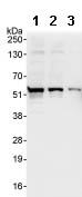 Western blot - RBM34 antibody (ab86788)