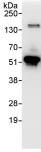 Immunoprecipitation - RBM34 antibody (ab86788)