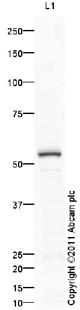 Western blot - Alkaline Phosphatase, Tissue Non-Specific antibody (ab86789)