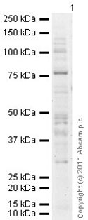 Western blot - Anti-PKC delta antibody (ab86800)