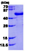 SDS-PAGE - FUS2 protein (His tag) (ab86853)
