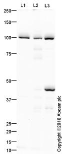 Western blot - Bcl6 antibody (ab86861)