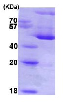 SDS-PAGE - Hsp47 protein (His tag) (ab86918)