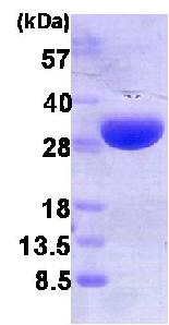 SDS-PAGE - Heme Oxygenase 1 protein (His tag) (ab86919)