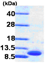 SDS-PAGE - GRO gamma protein (His tag) (ab86929)