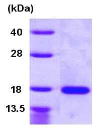 SDS-PAGE - VEGF 121B protein (Human) (ab86935)