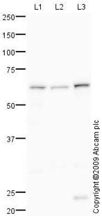 Western blot - Anti-Glucose 6 phosphate isomerase antibody (ab86950)