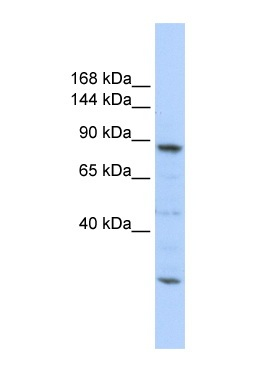Western blot - CDC5L antibody (ab86971)