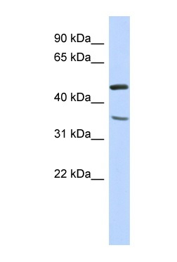 Western blot - FAM81B antibody (ab86979)