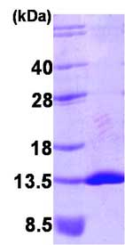 SDS-PAGE - NEDD8 protein (His tag) (ab87008)