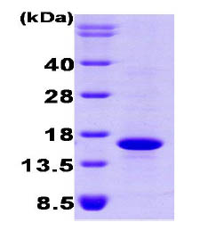 SDS-PAGE - BMP7 protein (His tag) (ab87055)