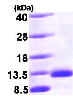 SDS-PAGE - BMP2 protein (Human) (ab87065)