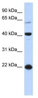 Western blot - BLZF1 antibody (ab87093)
