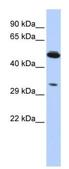 Western blot - PIK3IP1 antibody (ab87094)