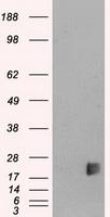 Western blot - Neurogenin3 antibody [3B5] (ab87108)