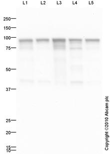 Western blot - Hsp90 antibody (ab87133)